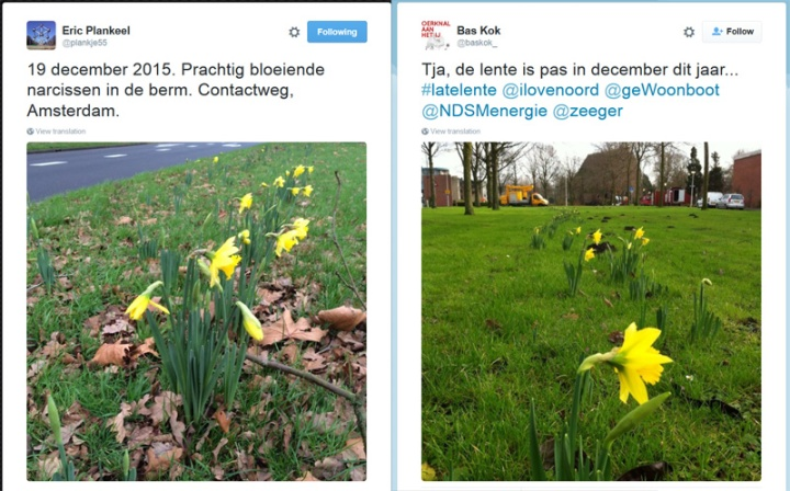 Daffodils blooming in December. Amsterdam as reported by Erik Plankeel and