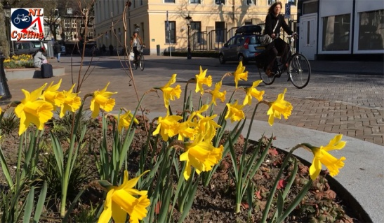 More daffodils in Utrecht. Planted around the trees of the now finished Mariaplaats in Utrecht.