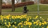 Daffodils in Utrecht