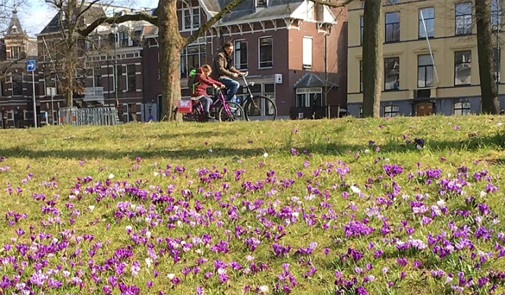 Father and daughter riding past a splash of purple crocusses.