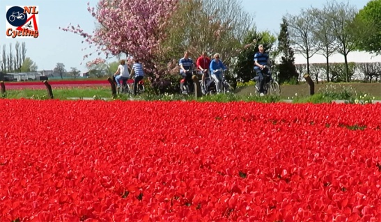 Cycling to see the tulips in bloom!